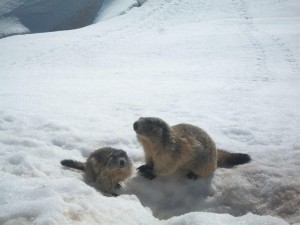 marmottes 005